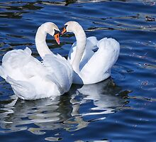 Two graceful white swans. by cloud7