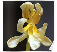 Dessicated Tulip Blossom Poster