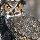 Horned Owl by cherylc1