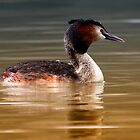 Great Crested Grebe by eyestrange