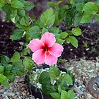 Pink Hibiscus and Wheel by Robert Meyers-Lussier