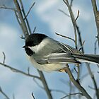 Black Capped Chickadee by Michael Collier