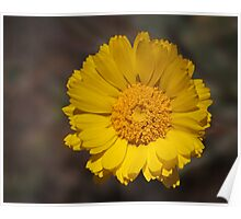 Desert Sunflower Poster