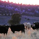 A Happy Herd in Hereford by Betty E Duncan © Blue Mountain Blessings Photography