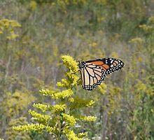 Monarch Butterfly by Mirenda Wells