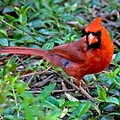 RED CARDINAL by Raoul Madden