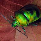 Shield-backed bug 3. by jimmy hoffman