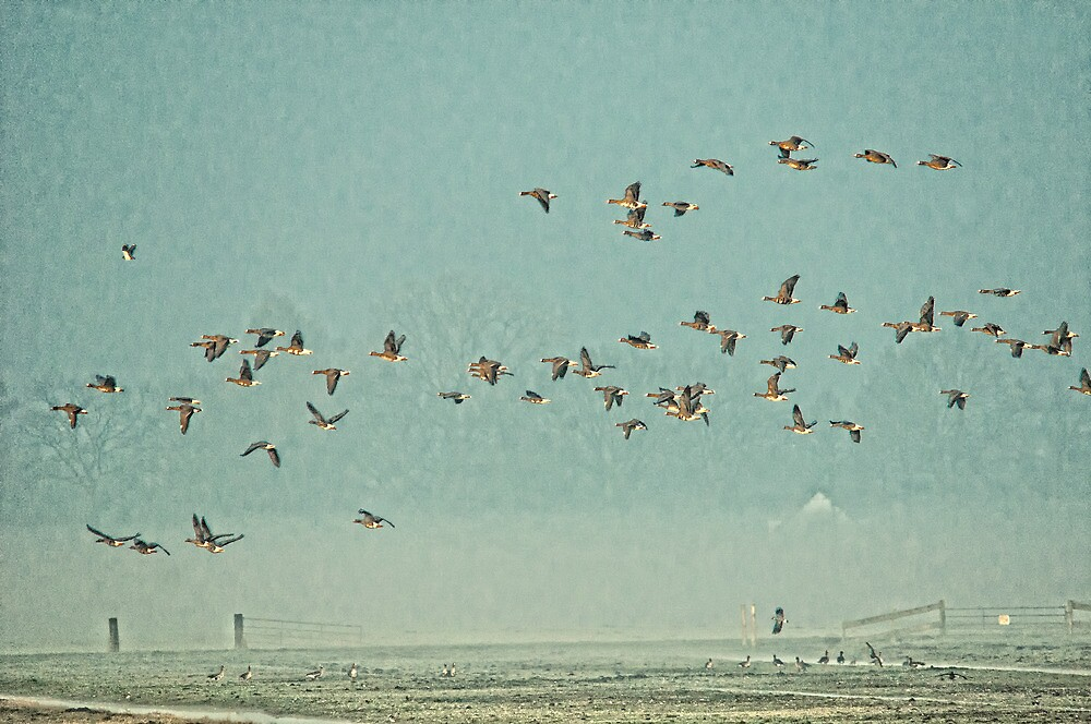 Geese in Eempolder by THHoang