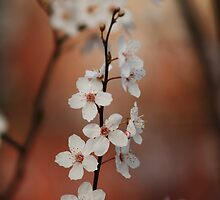 Spring Beauty by Ursula Rodgers
