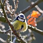 Fluffy Blue-tit by Sarah Walters