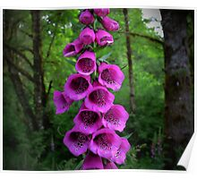 Wild Foxgloves Poster