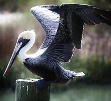 Posing Pelican by Paulette1021