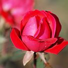 A Rose Is.. by pixhunter