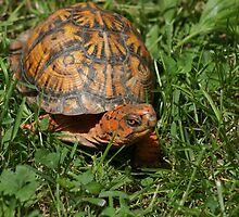 Turtle by pixhunter