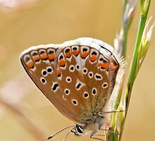 Brown Argus by Sarah Walters