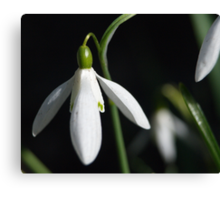 Snow Drop #1 Canvas Print