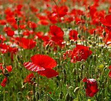 Poppies by Sarah Walters