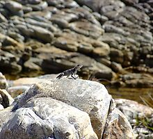 Rock Agama by croust