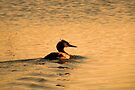 Great Crested Grebe in Golden Glow by Jo Nijenhuis