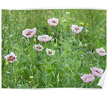 Opium Poppy Numbers are Growing! Poster