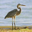 Heron by Asoka