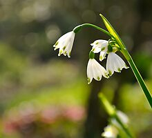 Snowdrops by Lisa Williams