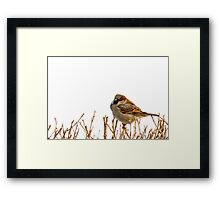 Eurasian tree sparrow, white background. Framed Print