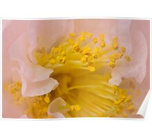 Heart of a delicate pink camellia Poster