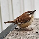 Marsh Wren by barnsis