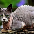 The Devon Rex by SylanPhotos