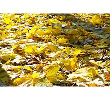 Selective focus on the yellow fallen autumn maple leaves closeup Photographic Print