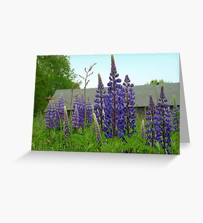 Maine Lupine Greeting Card