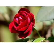 Country Squire Rose Photographic Print