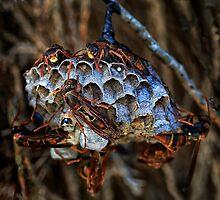 Native Paper Wasps by Ian English