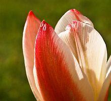 Tulip Split by Deb Maidment