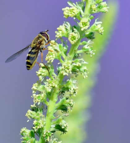 Hoverfly in the Lavender Garden Sticker