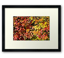 Background of bright red maple leaves Framed Print