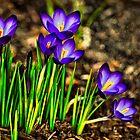Spring Crocus  by LudaNayvelt
