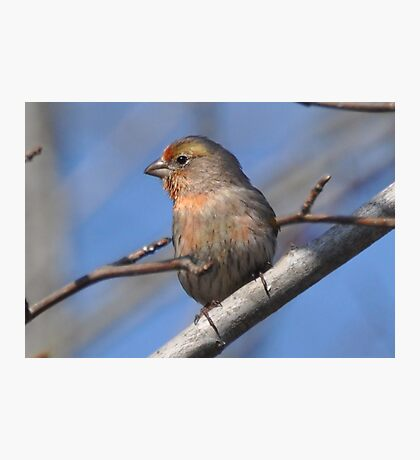 Little Finch Photographic Print