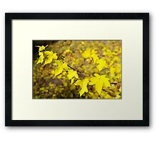 Little branch of maple with small yellow leaves close-up Framed Print