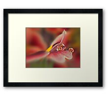 Red primrose refraction Framed Print