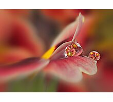 Red primrose refraction Photographic Print