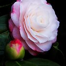 "Camellia japonica ""Desire"" by Irina Chuckowree"