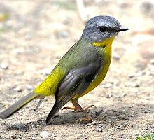 Eastern Yellow Robin taken Yea Victoria by Alwyn Simple