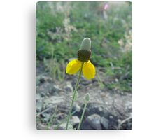 Prairie Coneflower Canvas Print