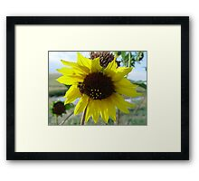 Sunflower and Red-butted Bee Framed Print