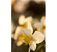 Sunset on Daffodils Photographic Print