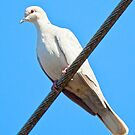 Albino Mourning Dove by Chuck Gardner