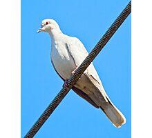 Albino Mourning Dove Photographic Print