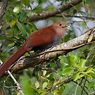 Squirrel Cuckoo - Hotel Bougainvillea, Santo Domingo, Costa Rica by Stephen Stephen